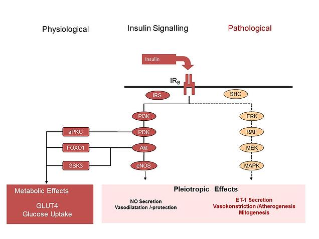Pathways Of Diabetes Beta Cell Dysfunction And Insulin Signalling