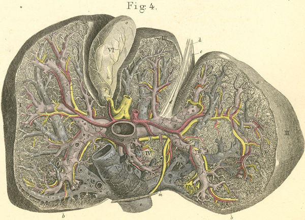 Liver first ? Part III: Medical Needs